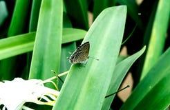 Oostelijke de steel verwijderen-blauwe vlinder op groene installatie Royalty-vrije Stock Foto