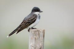 Oostelijke die Kingbird op houten pool wordt neergestreken Royalty-vrije Stock Foto's