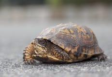 Oostelijke Doosschildpad in New Jersey Royalty-vrije Stock Foto