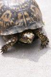 Oostelijke doosschildpad op zand Royalty-vrije Stock Foto's