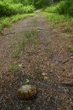 Oostelijke doosschildpad in weg royalty-vrije stock afbeelding
