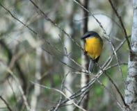 Oostelijke Gele Robin streek op een tak neer royalty-vrije stock foto's