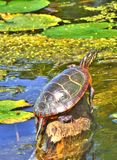 Oostelijke Geschilderde Schildpad Royalty-vrije Stock Afbeeldingen