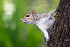 Oostelijke Gray Squirrel-close-up met trillende backroun Royalty-vrije Stock Afbeeldingen