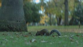 Oostelijke grijze eekhoorn die zaden in het park eten stock videobeelden