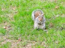 Oostelijke grijze eekhoorn op een groen gazon in de lente die bij camera staren Stock Foto's