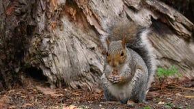 Oostelijke grijze en carolinensis die van eekhoornsciurus voederen eten stock footage