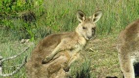Oostelijke grijze kangoeroe stock footage