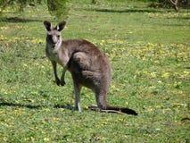 Oostelijke Grijze Kangoeroe Royalty-vrije Stock Fotografie
