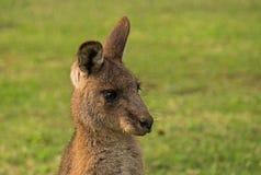 Oostelijke grijze kangoeroe Royalty-vrije Stock Foto