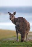 Oostelijke Grijze Kangoeroe (giganteus Macropus) Stock Afbeelding