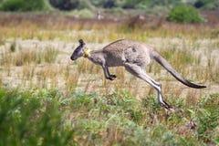 Oostelijke Grijze Kangoeroe (giganteus Macropus) stock foto's