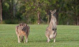 Oostelijke grijze kangoeroes Stock Foto's
