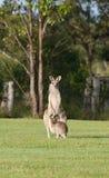 Oostelijke grijze kangoeroes Stock Afbeeldingen