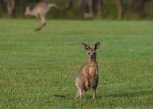 Oostelijke grijze kangoeroes Stock Foto