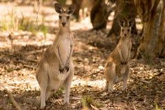 Oostelijke grijze kangoeroes stock fotografie