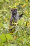 Oostelijke griseus van Lesser Bamboo Lemur - Hapalemur- stock foto
