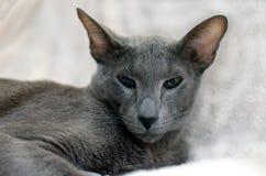 Oostelijke kat Stock Afbeeldingen