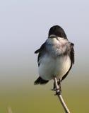 Oostelijke Kingbird Royalty-vrije Stock Fotografie