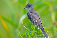 Oostelijke Kingbird Stock Foto's