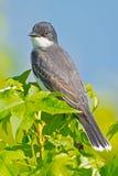 Oostelijke kingbird Royalty-vrije Stock Foto's