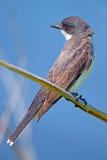 Oostelijke kingbird Royalty-vrije Stock Afbeeldingen
