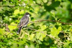 Oostelijke Kingbird die in een Boom wordt neergestreken Stock Afbeelding