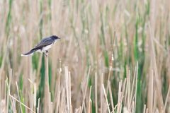 Oostelijke Kingbird in het Riet royalty-vrije stock afbeeldingen