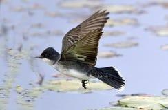 Oostelijke Kingbird tijdens de vlucht Royalty-vrije Stock Foto