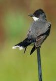 Oostelijke Kingbird (tyrannustyrannus) Stock Fotografie