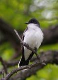 Oostelijke Kingbird (tyrannustyrannus) Stock Afbeelding