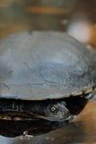 Oostelijke lang-necked schildpad (Chelodina-longicollis) Stock Foto's