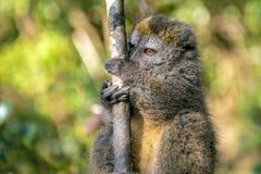 Oostelijke Lesser Bamboo Lemur Hapalemur-griseus in Madagascar stock foto's
