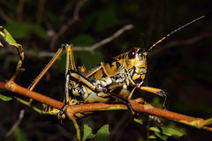 Oostelijke Lubber Grasshopper4 Royalty-vrije Stock Afbeelding