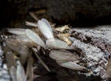 Oostelijke ondergrondse termieten, Gevleugelde termieten, Reticulitermes flavipes Stock Afbeeldingen