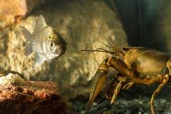 Oostelijke rivierkreeften en Pruisische karpervissen Stock Afbeeldingen