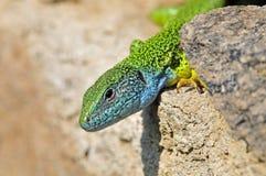 Oostelijke Smaragdhagedis,东部绿蜥蜴,蝎虎座viridis 免版税库存照片