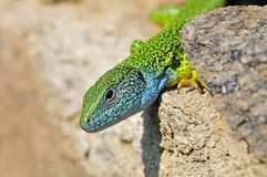 Oostelijke Smaragdhagedis, Eastern Green Lizard, Lacerta viridis royalty free stock photo