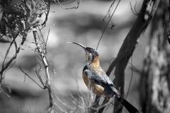 Oostelijke Spinebill Acanthorhynchus Tenuirostris in een boom Royalty-vrije Stock Foto's