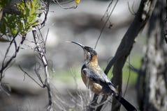 Oostelijke Spinebill Acanthorhynchus Tenuirostris in een boom Stock Afbeeldingen