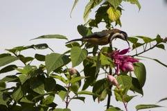 Oostelijke Spinebill in Salvia Royalty-vrije Stock Afbeelding