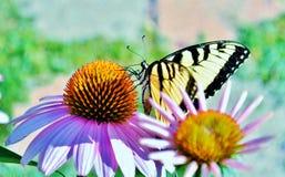Oostelijke Tiger Swallowtail-vlinder op viooltje coneflower Alleen bevroren boom royalty-vrije stock afbeelding