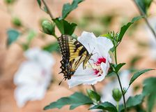 Oostelijke Tijger Swallowtail Royalty-vrije Stock Foto's