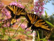 Oostelijke Tijger Swallowtail royalty-vrije stock afbeeldingen