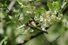 Oostelijke tijger swallowtail bovenkant - neer royalty-vrije stock afbeelding