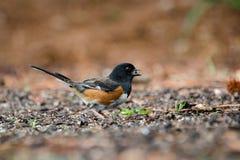 Oostelijke Towhee-vogel die het zwarte zaad van de oliezonnebloem, Athene, Georgië eten stock foto's