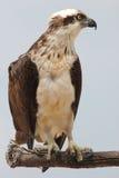 Oostelijke visarend (Pandion-cristatus) - een Australische roofvogel Royalty-vrije Stock Fotografie