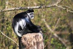 Oostelijke zwart-witte colobusaap Stock Afbeeldingen