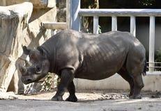 Oostelijke zwarte rinoceros Stock Foto's