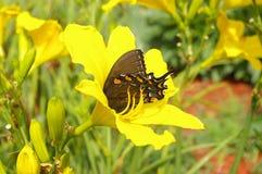 Oostelijke Zwarte Swallowtail Stock Fotografie